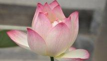 Mosaico | Flor de lotus